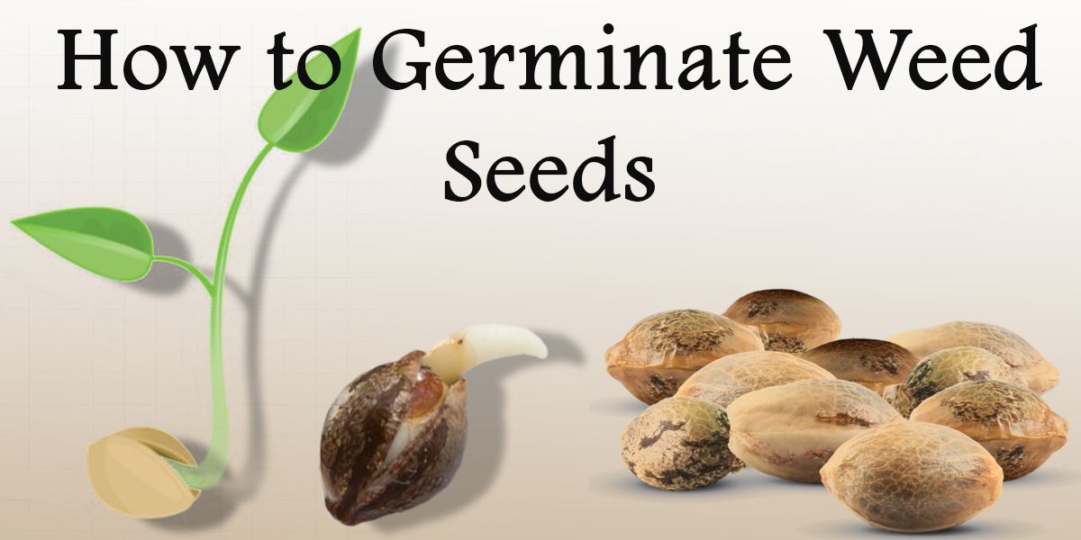 Featured Image of how to germinate weed seeds